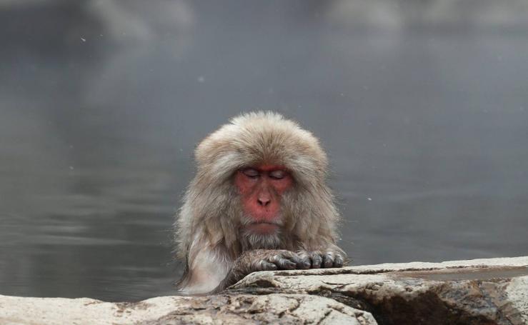 El spa de los macacos