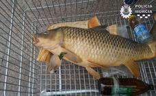Denunciados por pescar una carpa en el río Segura para comérsela