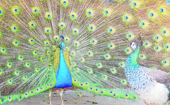 El pavoneo puede llevar a la extinción