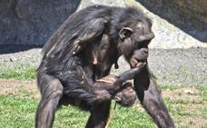 Parto público de un chimpancé en Valencia