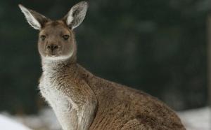 Un canguro muere en un zoo por los ladrillazos de visitantes