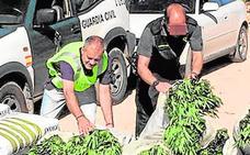 Murcia es la sexta provincia con mayor número de plantas de marihuana incautadas