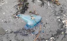 Detectan ejemplares de 'carabela portuguesa' en las costas de la Región