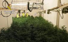 Dos detenidos en Alguazas con 150 plantas de marihuana
