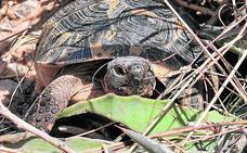 Las tortugas moras recuperan las tasas de reproducción