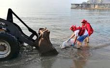 Aparece el cadáver de un delfín varado en una playa de Águilas