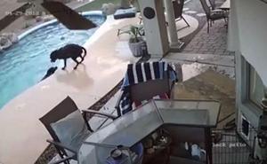 Un perro salva a su compañero de morir ahogado en una piscina