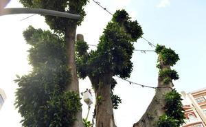 El ficus de Santo Domingo pasa la 'ITV'