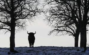 La carne del toro de lidia quiere llegar a los restaurantes