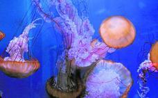 La ortiga del Pacífico ya se reproduce en acuarios del Oceanogràfic