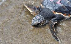 No molesten a las tortugas bobas