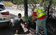 Desmantelada una plantación de marihuana en un paraje forestal de Caravaca de la Cruz