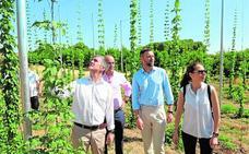 Agricultura ensaya el cultivo de ocho variedades de lúpulo en el Noroeste