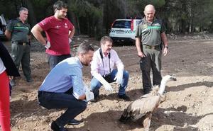 Liberan a un ejemplar de buitre leonado en Caravaca