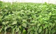Aumentan un 46% la producción de pimiento con biosolarización