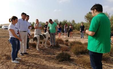 La trufa del desierto crece con éxito en una finca experimental de Cartagena