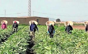 La campaña de la alcachofa en Torre Pacheco mejora pese a la competencia de Egipto