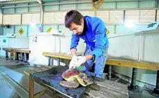 El Oceanogràfic de Valencia recupera una tortuga boba que fue rescatada en San Javier