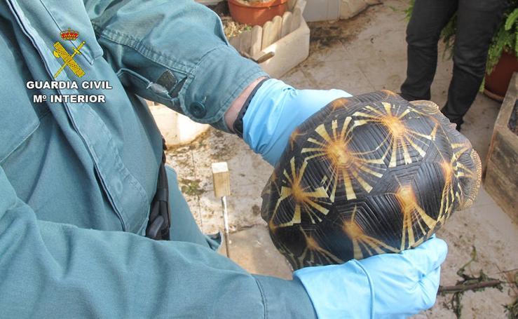 La Guardia Civil desmantela un criadero ilegal de tortugas en San Pedro del Pinatar