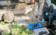 Hallan un criadero ilegal con 89 tortugas en San Pedro del Pinatar