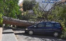 El vendaval derriba un pino centenario en Jumilla