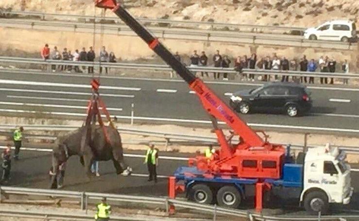 Cuatro elefantes cortan el tráfico en la A-30 en sentido Murcia