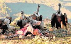 Los ganaderos podrán dejar cadáveres en el campo para que coman los buitres