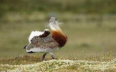 El plan de recuperación de aves esteparias propone ampliar los espacios protegidos