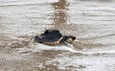 Los años perdidos de las tortugas bobas