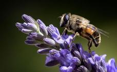 La UE pone coto al uso de tres pesticidas que dañan a las abejas