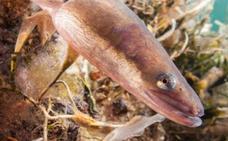 Ocho recomendaciones para mejorar la salud de las anguilas europeas