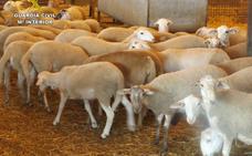 Dos detenidos por el robo de 25 corderos en Totana