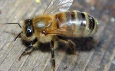 Una anciana ingresa en la UCI tras ser atacada por 2.000 abejas cuando buscaba setas