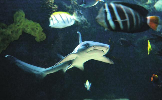 El Acuario de la UMU bucea entre corales y tiburones