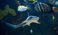 Un tiburón nacido en Murcia nada en el Oceanogràfic de Valencia