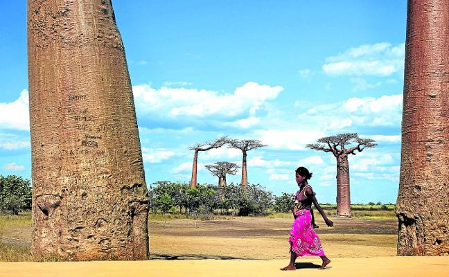 El misterio por el que los árboles más longevos de la Tierra se están muriendo de repente