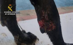Investigan al propietario de una perra por abandonarla con graves heridas en Librilla