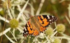 La mariposa que migra en el espacio y el tiempo