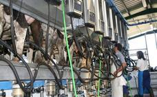 Las granjas murcianas duplican su producción de leche tras la crisis