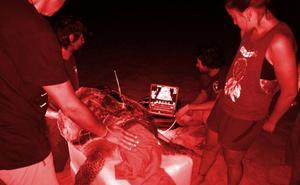 Una tortuga boba intenta desovar en Cabo Roig