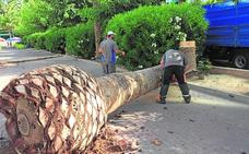 Talan siete palmeras afectadas por el picudo
