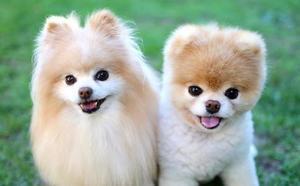 Por qué no deberías tener un perro de estas razas que se han puesto de moda