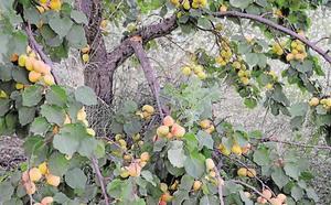 Fecoam participa en un proyecto para adaptar los frutales de hueso al cambio climático