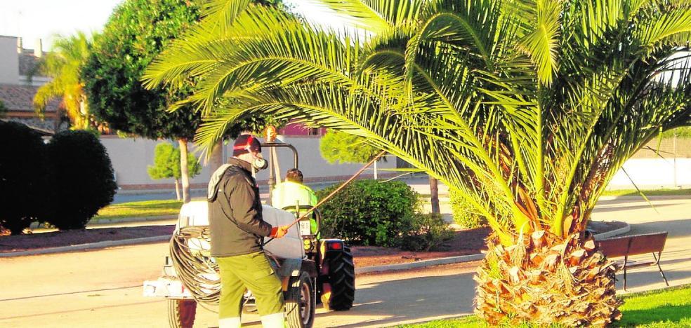 La plaga del picudo rojo ha devorado ya el 60% de las palmeras canarias