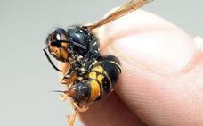 ¿Son realmente para preocuparse las picaduras de las avispas? Responden los alergólogos
