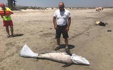 Hallan el cadáver de un delfín varado en una playa de San Pedro