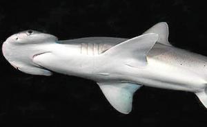 Un acuario en la UMU para tiburones martillo
