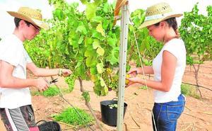 La UPCT vendimia seis toneladas de la recuperada uva merseguera