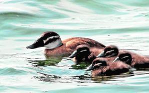 Las lagunas de Cabezo Beaza acogen ya nuevos ejemplares de malvasía