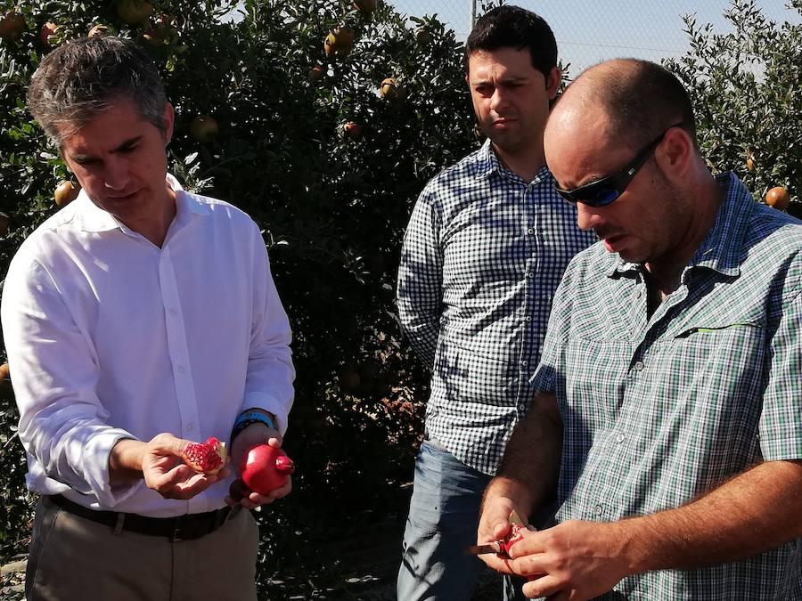 La variación genética de la granada israelí supera las 300 hectáreas en la Región